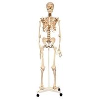 Анатомия человеческого скелета
